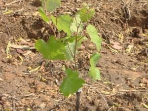 Прививка винограда окулировкой