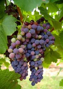 Защита винограда ранней весной