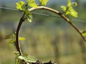 в марте на винограднике