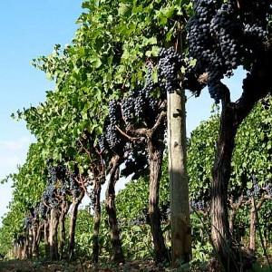 виноград на высоком штампе