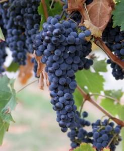 виноград на севере