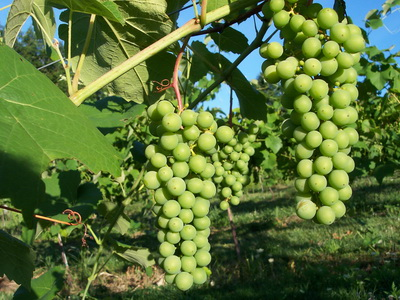 Агротехника выращивания винограда