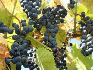 Прививка винограда на куст Бако