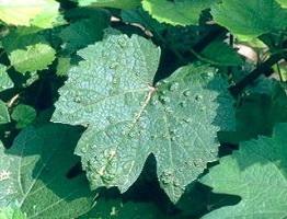 Листовой виноградный клещ