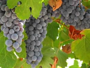 Виноградные маточники интенсивного типа
