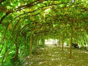 Шпалеры-дуги для винограда