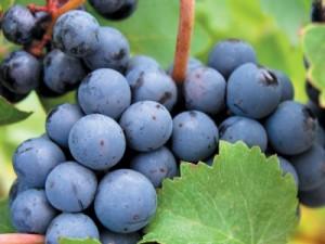 чаталы для винограда