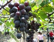 на виноградной плантации
